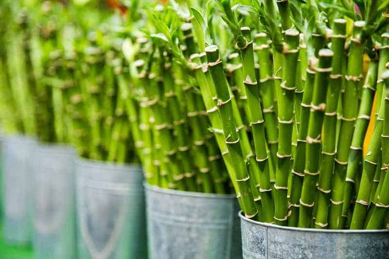 how to propagate bamboo palm